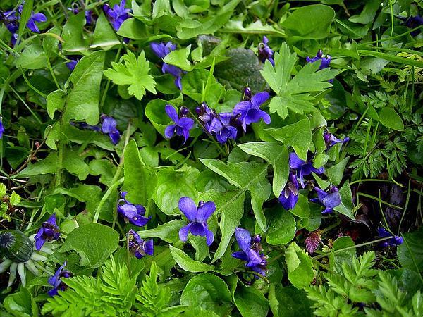 Sweet Violet (Viola Odorata) https://www.sagebud.com/sweet-violet-viola-odorata