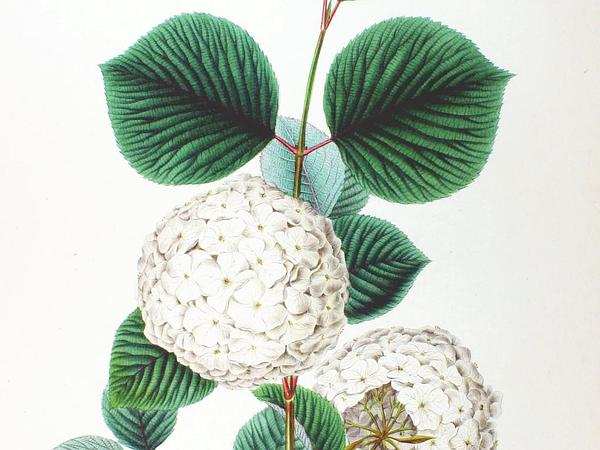 Japanese Snowball (Viburnum Plicatum) https://www.sagebud.com/japanese-snowball-viburnum-plicatum