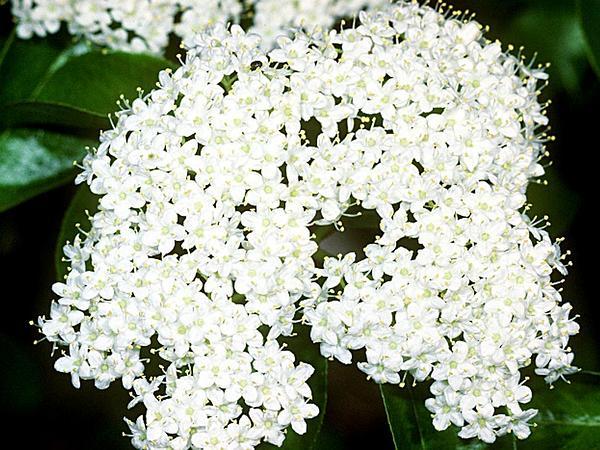 Blackhaw (Viburnum Prunifolium) https://www.sagebud.com/blackhaw-viburnum-prunifolium