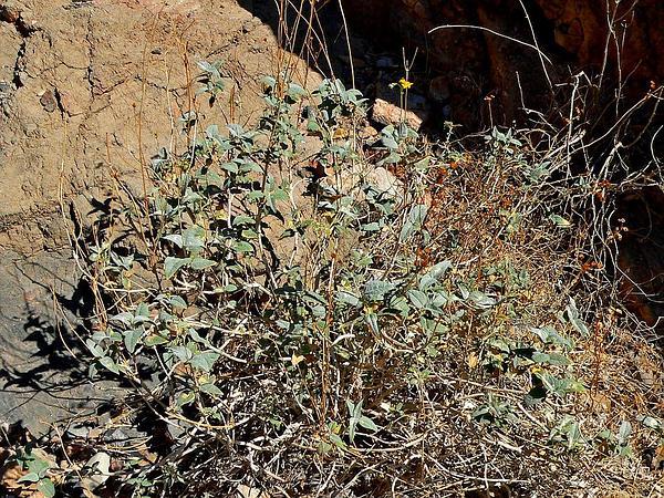 Netvein Goldeneye (Viguiera Reticulata) https://www.sagebud.com/netvein-goldeneye-viguiera-reticulata