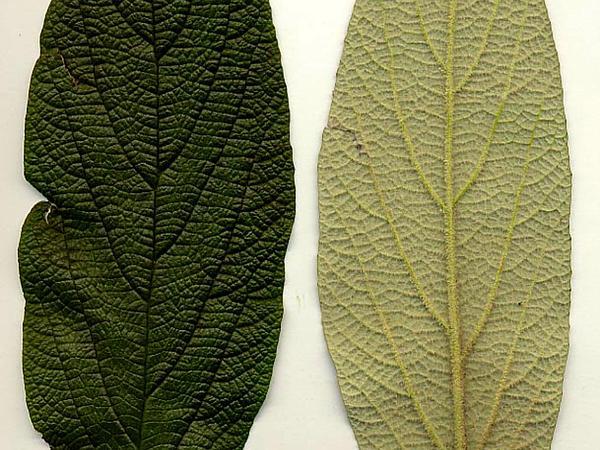 Leatherleaf Arrowwood (Viburnum Rhytidophyllum) https://www.sagebud.com/leatherleaf-arrowwood-viburnum-rhytidophyllum/