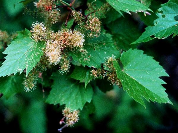 Riverbank Grape (Vitis Riparia) https://www.sagebud.com/riverbank-grape-vitis-riparia/