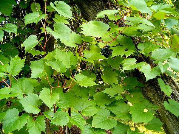 Riverbank Grape (Vitis Riparia) https://www.sagebud.com/riverbank-grape-vitis-riparia