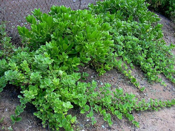 Roundleaf Chastetree (Vitex Rotundifolia) https://www.sagebud.com/roundleaf-chastetree-vitex-rotundifolia