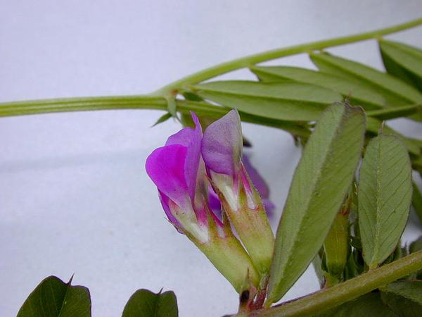 Garden Vetch (Vicia Sativa) https://www.sagebud.com/garden-vetch-vicia-sativa