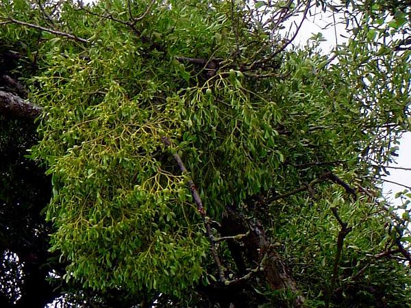 Mistletoe (Viscum) https://www.sagebud.com/mistletoe-viscum