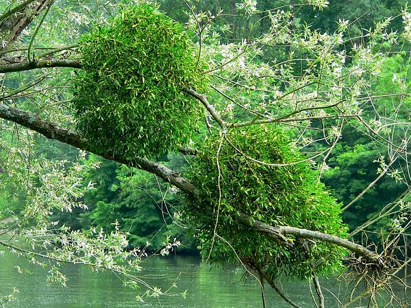 Mistletoe (Viscum) https://www.sagebud.com/mistletoe-viscum/