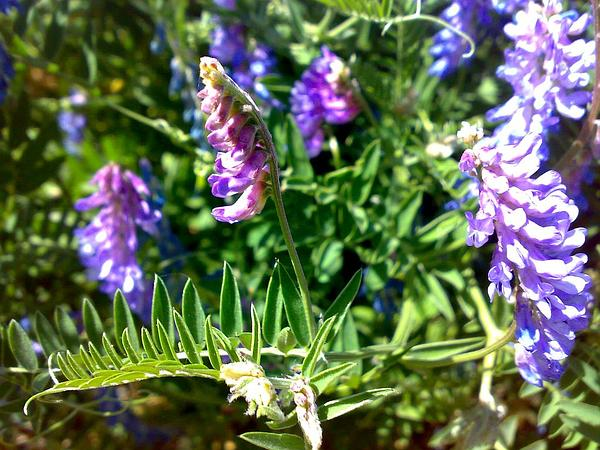 Bush Vetch (Vicia Sepium) https://www.sagebud.com/bush-vetch-vicia-sepium