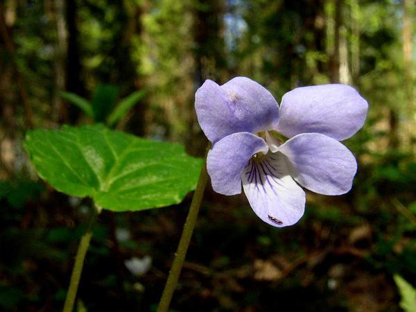 Selkirk's Violet (Viola Selkirkii) https://www.sagebud.com/selkirks-violet-viola-selkirkii