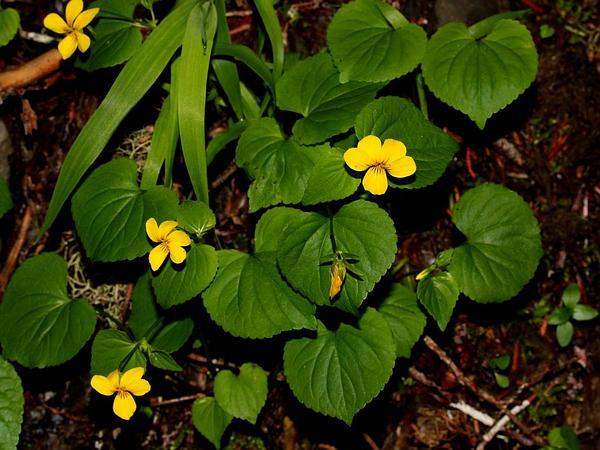 Evergreen Violet (Viola Sempervirens) https://www.sagebud.com/evergreen-violet-viola-sempervirens