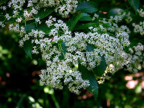 Siebold's Arrowwood (Viburnum Sieboldii) https://www.sagebud.com/siebolds-arrowwood-viburnum-sieboldii