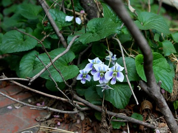 Common Blue Violet (Viola Sororia) https://www.sagebud.com/common-blue-violet-viola-sororia