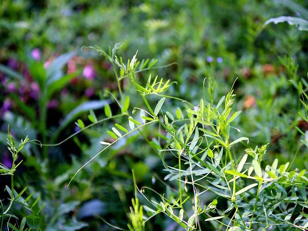 Lentil Vetch (Vicia Tetrasperma) https://www.sagebud.com/lentil-vetch-vicia-tetrasperma/