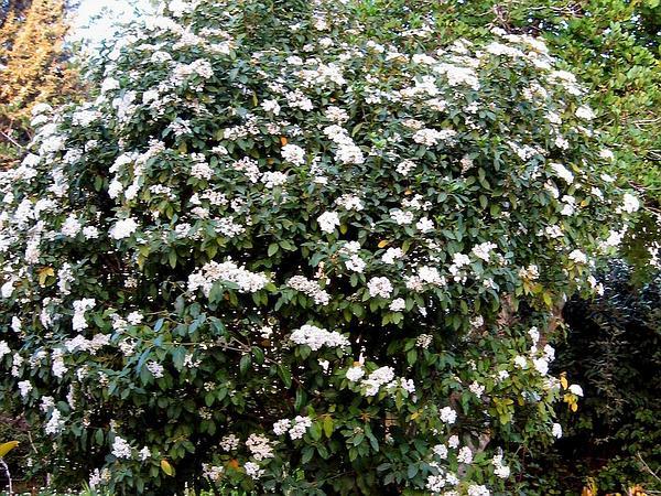 Laurustinus (Viburnum Tinus) https://www.sagebud.com/laurustinus-viburnum-tinus