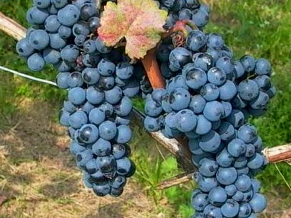 Grape (Vitis) https://www.sagebud.com/grape-vitis