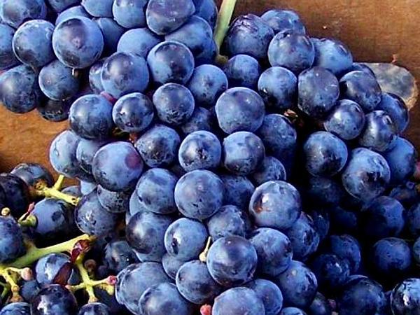 Grape (Vitis) https://www.sagebud.com/grape-vitis