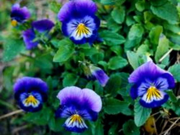 Johnny Jumpup (Viola Tricolor) https://www.sagebud.com/johnny-jumpup-viola-tricolor