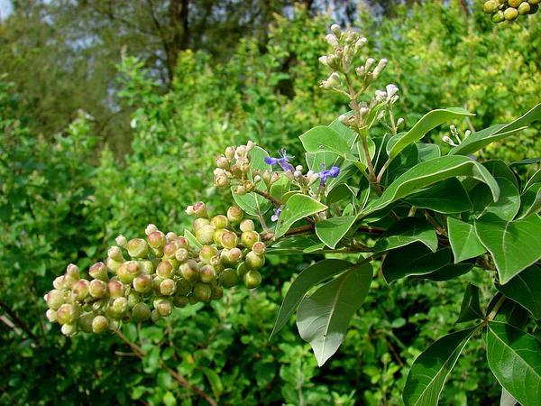 Simpleleaf Chastetree (Vitex Trifolia) https://www.sagebud.com/simpleleaf-chastetree-vitex-trifolia