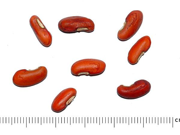 Blackeyed Pea (Vigna Unguiculata) https://www.sagebud.com/blackeyed-pea-vigna-unguiculata