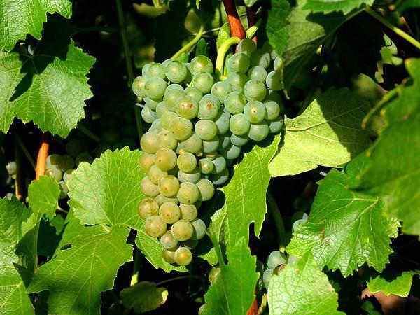 Wine Grape (Vitis Vinifera) https://www.sagebud.com/wine-grape-vitis-vinifera