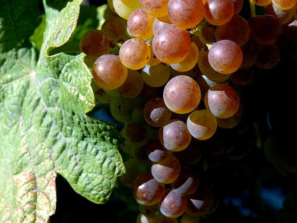 Wine Grape (Vitis Vinifera) https://www.sagebud.com/wine-grape-vitis-vinifera