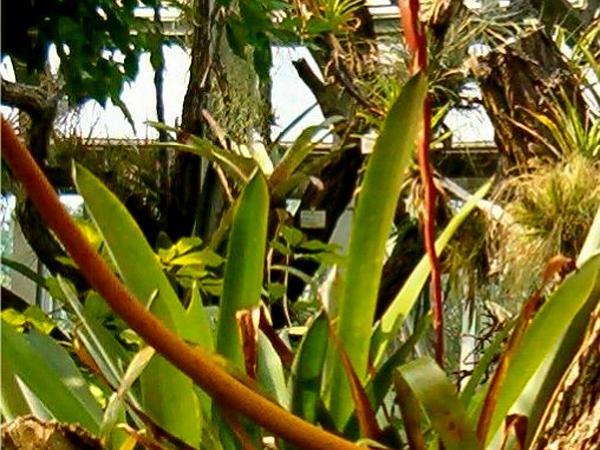 Vriesea (Vriesea) https://www.sagebud.com/vriesea-vriesea
