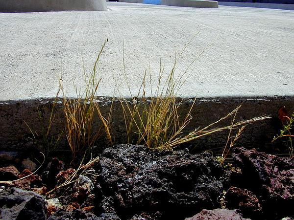 Brome Fescue (Vulpia Bromoides) https://www.sagebud.com/brome-fescue-vulpia-bromoides