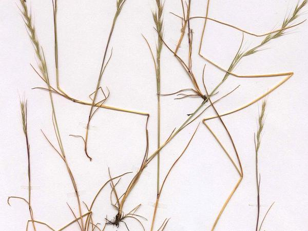Rat-Tail Fescue (Vulpia Myuros) https://www.sagebud.com/rat-tail-fescue-vulpia-myuros