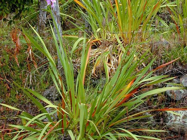 Cape Bugle-Lily (Watsonia Borbonica) https://www.sagebud.com/cape-bugle-lily-watsonia-borbonica