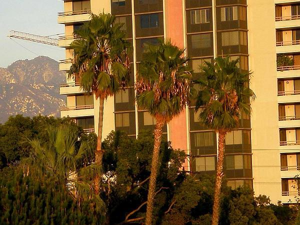 California Fan Palm (Washingtonia Filifera) https://www.sagebud.com/california-fan-palm-washingtonia-filifera