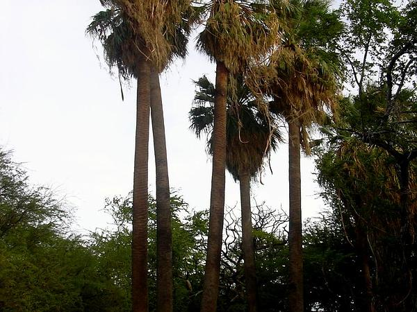 California Fan Palm (Washingtonia Filifera) https://www.sagebud.com/california-fan-palm-washingtonia-filifera