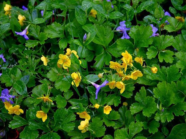 Appalachian Barren Strawberry (Waldsteinia Fragarioides) https://www.sagebud.com/appalachian-barren-strawberry-waldsteinia-fragarioides