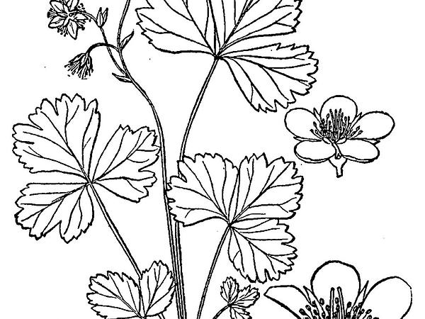 Appalachian Barren Strawberry (Waldsteinia Fragarioides) https://www.sagebud.com/appalachian-barren-strawberry-waldsteinia-fragarioides/