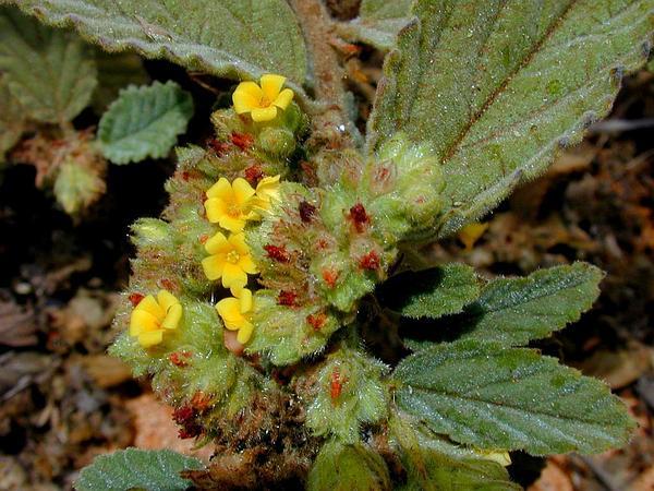 Waltheria (Waltheria) https://www.sagebud.com/waltheria-waltheria