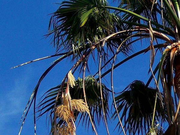 Washington Fan Palm (Washingtonia Robusta) https://www.sagebud.com/washington-fan-palm-washingtonia-robusta