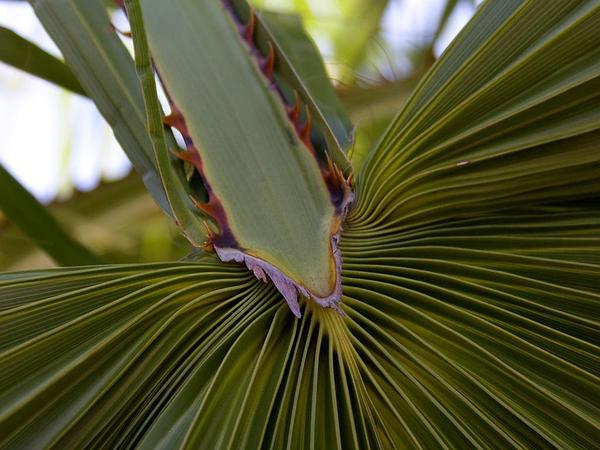 Fan Palm (Washingtonia) https://www.sagebud.com/fan-palm-washingtonia