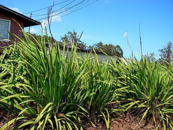 Bugle-Lily (Watsonia) https://www.sagebud.com/bugle-lily-watsonia