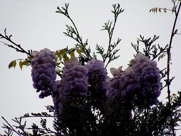 American Wisteria (Wisteria Frutescens) https://www.sagebud.com/american-wisteria-wisteria-frutescens