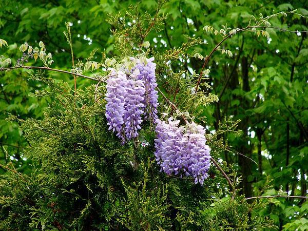 American Wisteria (Wisteria Frutescens) https://www.sagebud.com/american-wisteria-wisteria-frutescens/