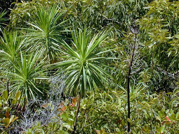 Iliau (Wilkesia Gymnoxiphium) https://www.sagebud.com/iliau-wilkesia-gymnoxiphium