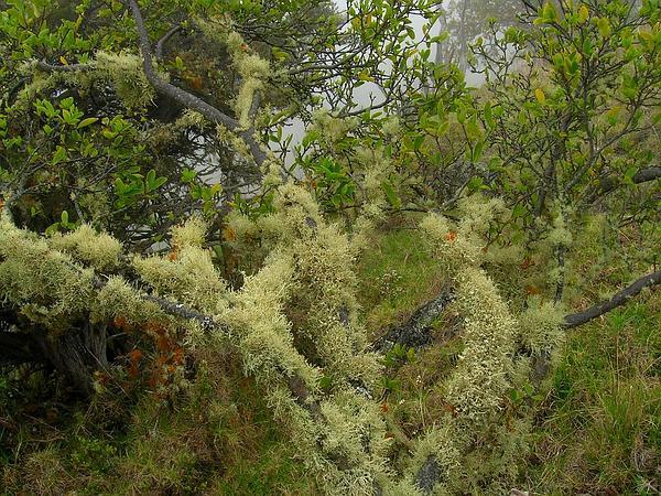 Montane False Ohelo (Wikstroemia Monticola) https://www.sagebud.com/montane-false-ohelo-wikstroemia-monticola/