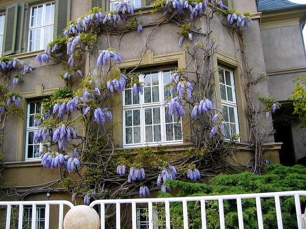 Chinese Wisteria (Wisteria Sinensis) https://www.sagebud.com/chinese-wisteria-wisteria-sinensis