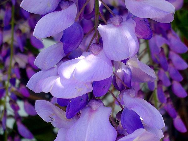 Chinese Wisteria (Wisteria Sinensis) https://www.sagebud.com/chinese-wisteria-wisteria-sinensis/