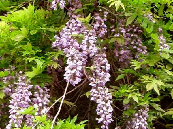 Wisteria (Wisteria) https://www.sagebud.com/wisteria-wisteria