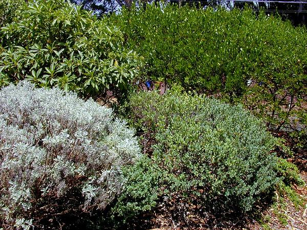 Hillside False Ohelo (Wikstroemia Uva-Ursi) https://www.sagebud.com/hillside-false-ohelo-wikstroemia-uva-ursi