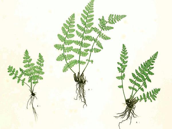 Rusty Woodsia (Woodsia Ilvensis) https://www.sagebud.com/rusty-woodsia-woodsia-ilvensis
