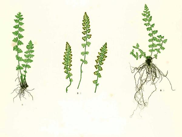 Cliff Fern (Woodsia) https://www.sagebud.com/cliff-fern-woodsia/