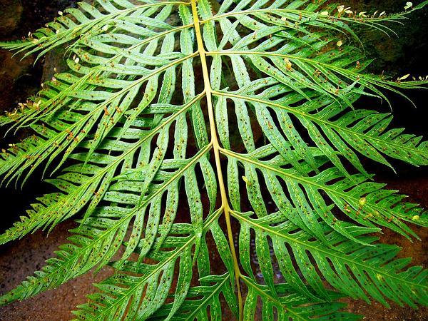 Chainfern (Woodwardia) https://www.sagebud.com/chainfern-woodwardia/