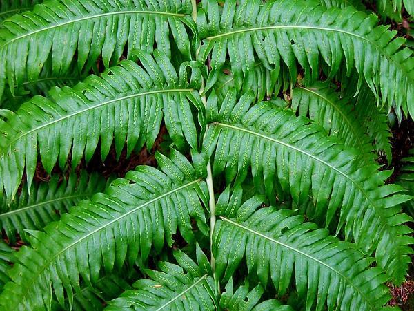 Chainfern (Woodwardia) https://www.sagebud.com/chainfern-woodwardia