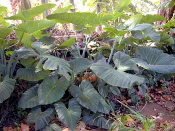 Rosy Malanga (Xanthosoma Roseum) https://www.sagebud.com/rosy-malanga-xanthosoma-roseum